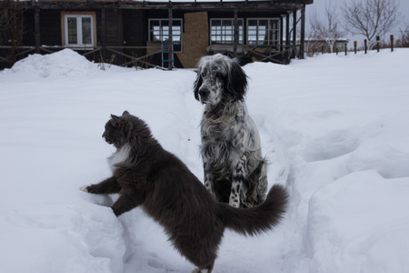 Cute black and white English Setter dog playing with cat in snow. On a cloudy winter day
