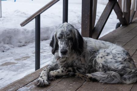 english setter dog lying on a wooden veranda Stock Photo