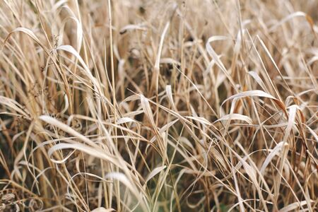 Beautiful dry grass grows on a mountainside on a fresh autumn day.