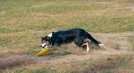 accuracy: agility dog catches the plate Stock Photo