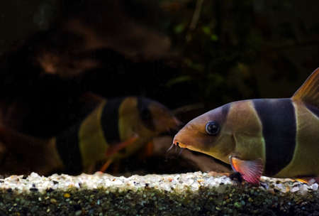freshwater clown fish: test
