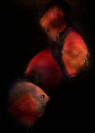 cichlid: discus aquarium fish from the cichlid family
