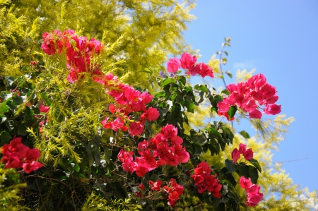 tropical bougainvillea on blue sky background photo