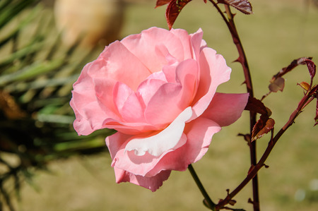Pink Rose Blooming in Garden, daylight photo