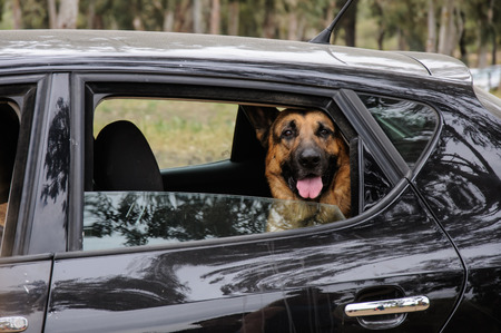 German Shepherd Dog looking out of a black  motor car window