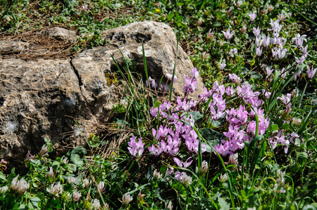 spring cyclamen, gentle purple flowers near big rock in daylight photo