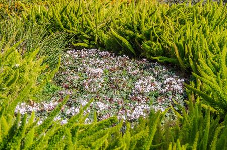 sowbread: spring cyclamen, gentle purple flowers  in daylight