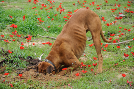 hole: Digging dog,  thrust the head into a hole Stock Photo