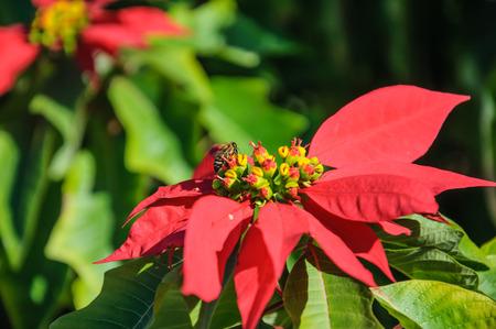 Honeybee and red flower photo