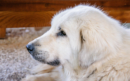 pyrenean mountain dog: portrait of a beautiful white purebred shepherd dog Stock Photo