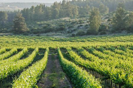 Vineyard landscape in Israel, sunlight