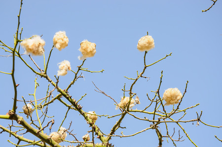 Floss-silk tree with cotton-balls against blue sky