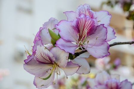 purpurea: Purple Bauhinia Flower bloom in Israel