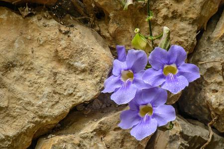 sowbread: Wild purple flower with rain drops between rocks