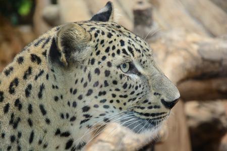 gepard: Beautiful Leopard closeup, looking angry