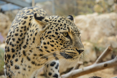 Beautiful Leopard closeup, looking angry photo