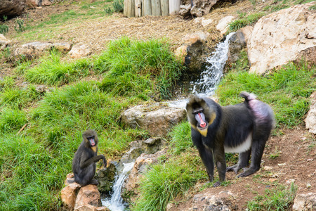 Two mandrill baboons on a rock near the water