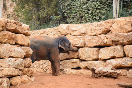 climbed: An Asian Elephant in zoo,elephant trunk climbed into stones, looking for somesing