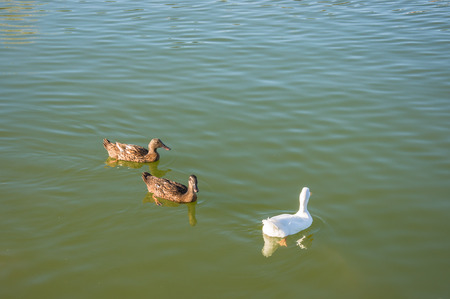 Brown and white Ducks are swimming in the lake Stock Photo
