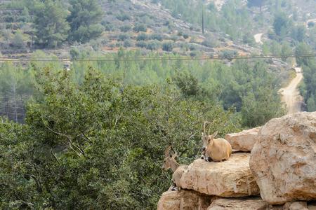 mountain goats: Two Mountain goats  lying on a rock