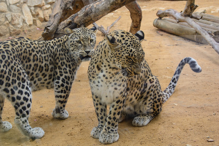 Two Beautiful Leopards closeup, looking angry