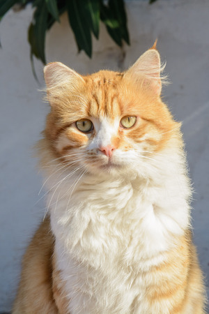 Portrait of Curious fluffy ginger and white tabby Beautiful street cat, looking at the camera