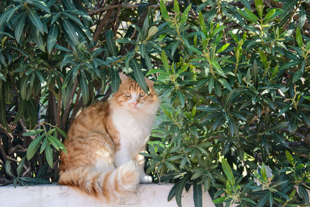 Curious fluffy ginger and white tabby cat sitting among the bushes looking at the camera