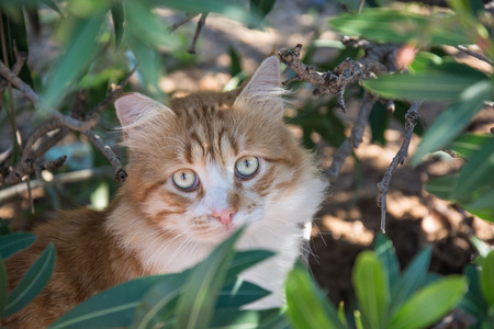 Portrait of Curious fluffy ginger and white tabby cat sitting among the bushes photo
