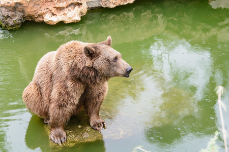Brown bear sitting on the rock near pool, rainy day Stock Photo
