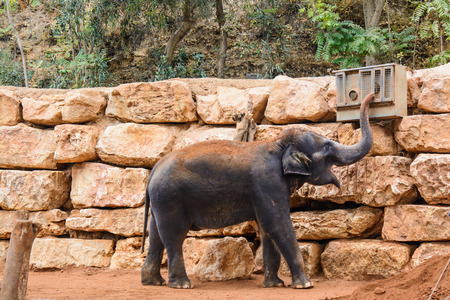 An Asian Elephant in zoo, playing with conditioner