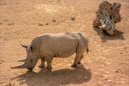 A white rhinoceros (Ceratotherium simum) in open zoo
