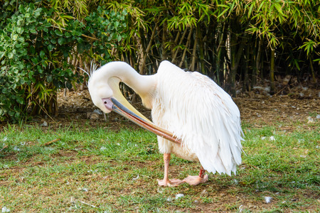 Pelican preening its feathers at Zoological Park Stock Photo