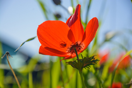 Blooming red anemones on green grass. Natural floral background