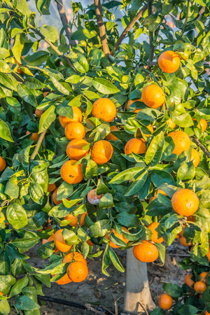 Tangerine Tree. Ripe and fresh tangerines with leaves on tree