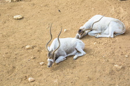 The curved horned antelopes Addax (Addax nasomaculatus)  laying relaxing on the ground in an open zoo Stock Photo