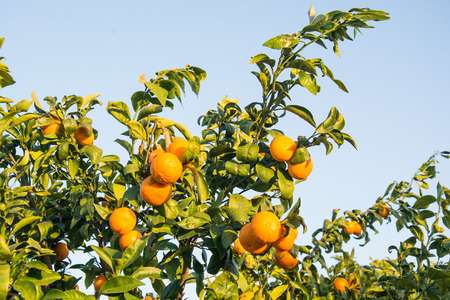 Tangerine Tree. Ripe and fresh tangerines with leaves on tree against blue sky