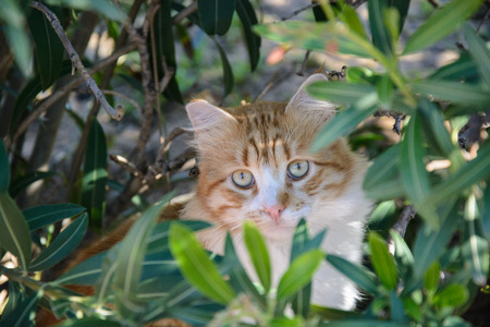 Portrait of Curious fluffy ginger and white tabby cat sitting among the bushes