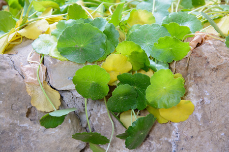 green ivy and stone wall in ornamental garden