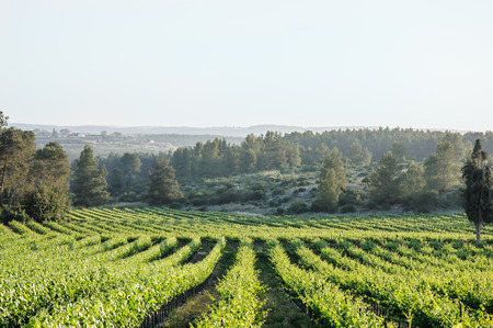 Vineyard landscape in Israel, sunlight