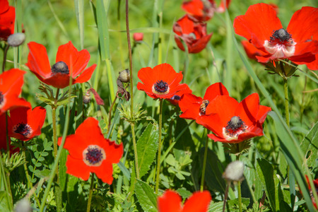 anemones: Blooming red anemones on green grass. Natural floral background