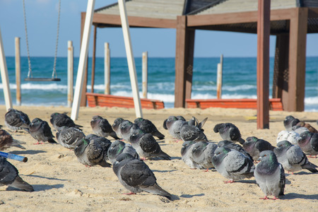 Many Pigeons on empty beach in cold day