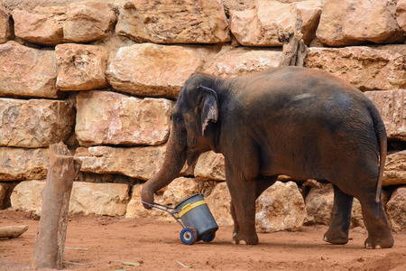 An Asian Elephant in zoo,dragging a bucket Stock Photo