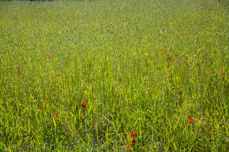 Meadow of Blooming red anemones on green grass. Natural floral background