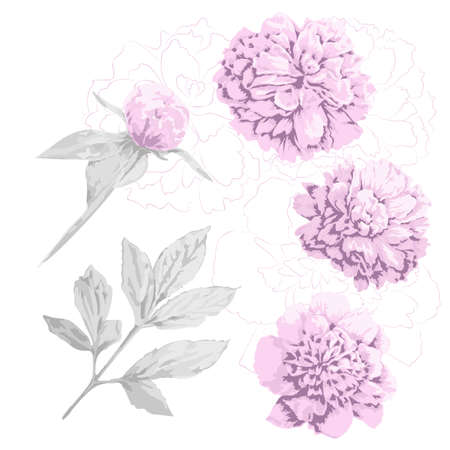 Set of pink peony flowers, bud and gray leaf. Three kinds of head piony flowers and contours of it, one bud with leaves and stem and one big leaf. Floral set for design.