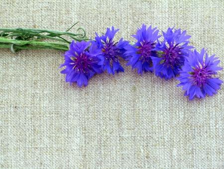 centaurea: Cornflowers on a canvas  Cornflowers on a non-polluting canvas  Stock Photo