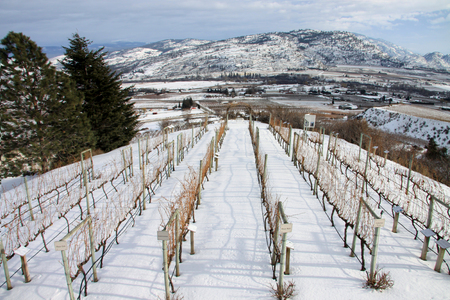 vinery: Vinery in winter in  Kelowna, British Columbia, Canada