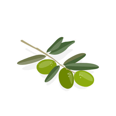 Olive tree branch with olives. Vector flat illustration isolate on white background.