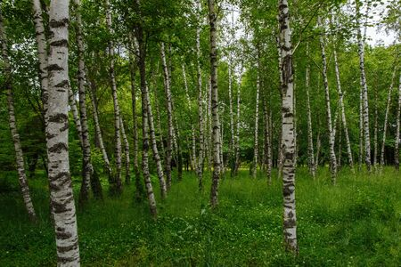 Forest landscape, birch grove in summer with high green grass on a cloudy day Stock Photo