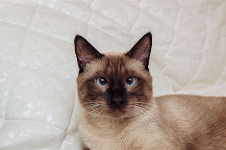 Close-up portrait of a brown Siamese cat with blue eyes on a white background, pet care concept, breed selection, treatment and veterinary care, greeting card with empty space for text Stok Fotoğraf