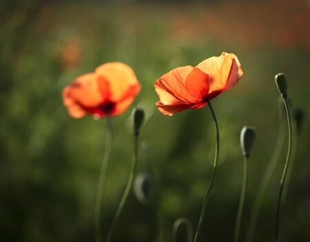 poppies in the meadow 版權商用圖片 - 131822843